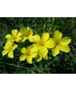 500 Pcs Seeds Linseed Common Linum Flavum Golden Flax Yellow Flower - DL - $16.00