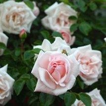 1 Root of Dawn Climbing Rose Bush Pink Flowers - $43.56