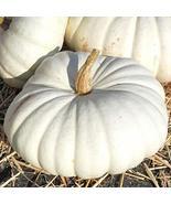10 Seeds of White Flat Boer Pumpkin - Cucurbita - $13.70