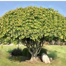 Sacred Fig Tree Seeds | Bodhi Tree Seeds | 100 seeds - $18.10
