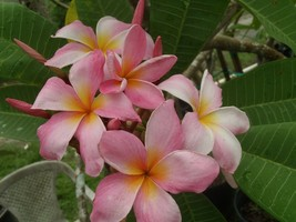 4 Very fragrant American Idol Rare & Exotic Plumeria Frangipani cuttings - $35.95