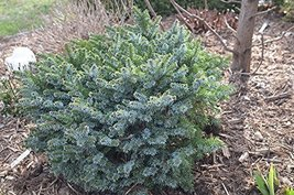 8 Year PLANT of Picea Omorika Pimoko - $455.40