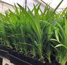 bonanza Ceylon Natural and Organic Pandas Live Plant Fast Growth 5 Plant... - $9.56