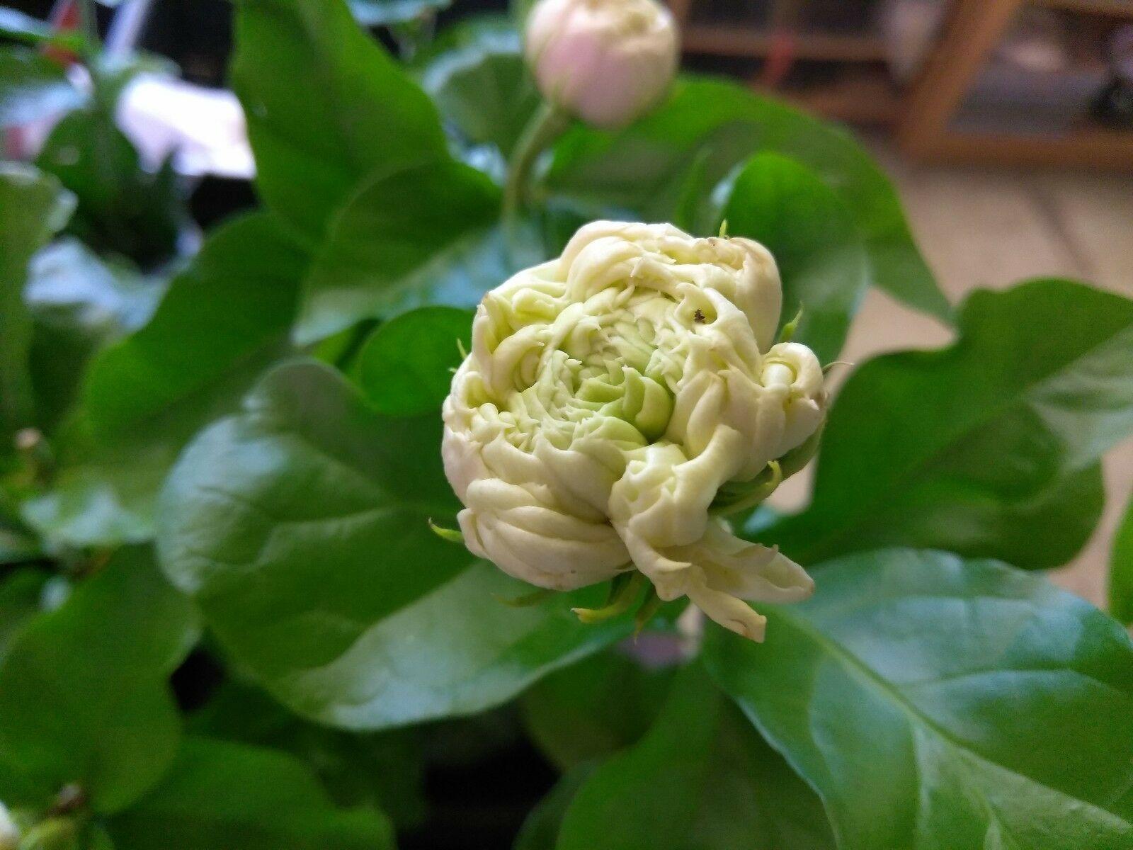 """Tea Jasmine - Sambac - Duke Of Tuscany - 1 Live Plant - 4"""" Pot"""