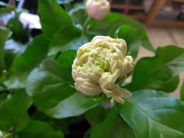 "Tea Jasmine - Sambac - Duke Of Tuscany - 1 Live Plant - 4"" Pot - $49.99"
