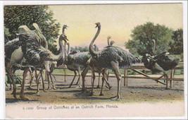 Ostriches Ostrich Farm Florida 1903 postcard - $6.44
