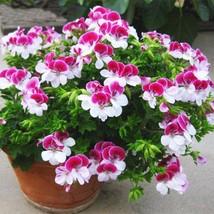 20Pieces/ Bag Two-color Red White Univalve Geranium Seeds Perennial Flow... - $2.20
