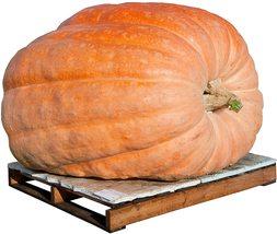 Pumpkin Seeds - Dills Atlantic Giant - Gardening - Yard, Garden & Outdoor Living - $41.99+