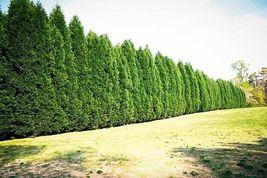 "Leyland Cypress tree 2 1/2"" pot image 4"