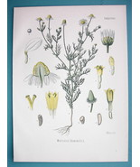CHAMOMILE Medicinal Matricaria Chamomilla - Beautiful COLOR Botanical Print - $21.42