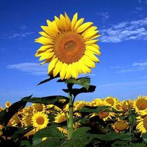 SHIP FROM US STRIPED SUPER TALL SUNFLOWER 30 SEEDS GIANT MAMMOTH TGV1 - $12.00