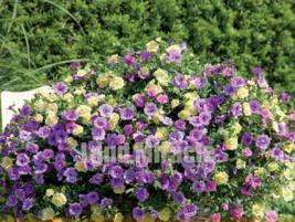 100 SEED The Most Popular Annuals Calibrachoa Petunia Bonsai Seed A - $3.40
