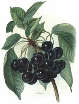 Vintage Fruit Prints: Early Rivers - Fruit Growers Guide - 1880 - $12.95+