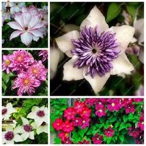 50Pcs Garden Climbing Clematis Hybridas Flower plants Vines Bonsai Flowe... - $4.80