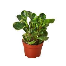 "Peperomia Marble - 4"" Pot - Houseplant - Garden - Outdoor Living - D11 - $31.99"