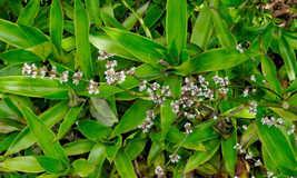 live plants Callisia fragrans 7 inches tall - $22.99