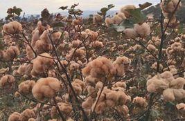 Unique Cotton Gossypium Tree Seeds 3 Variety #IMA9 - $15.99+