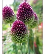 Fall Planting - 10 Allium Bulbs Purple Drumstick - Ornamental Onion - $16.45