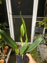 C. Horace Maxima' CATTLEYA Orchid Plant Pot BLOOMING SIZE 0315a image 3