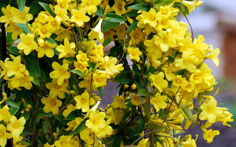 Primary image for 10 Seeds - Carolina Yellow Jessamine - Climbing Vine (Gelsemium sempervirens)