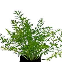 SHIP FROM US 10,000 Caraway Herb Seeds for Gardening or Microgreens, ZG09 - $27.56
