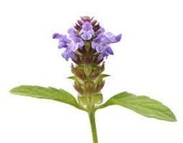 1000 Purple Herb Self Heal Prunella Vulgaris  Flower Seeds  - $9.99