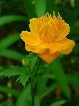 50 Seeds Trollius Globeflower Ledebouri Golden Queen Perennial - $19.70