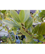 Live Plant - Laurus nobilis - 'Bay Leaf Tree' - Bay Laurel or Sweet Bay ... - $38.99