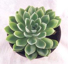 "Succulents Assorted Succulent (Collection of 2), 6"" - ₨2,136.77 INR"