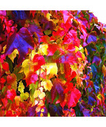 Egrow 100Pcs/Pack Boston Ivy Seeds Garden Climbing Creeper Plants Outdoo... - $5.92