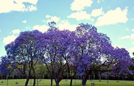 Jacaranda Cuspidifolia Blue Rare Flowering Trumpet Tree Flamboyan Seed 10 seeds- - $9.50