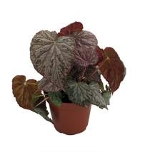 "Passing Storm Begonia Plant - 3.7"" Pot - Terrarium/Fairy Garden/HousePlant - $36.99"