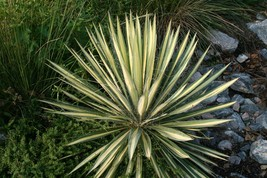 Live Plant - Color Guard Yucca - Quart Pot - Garden & Outdoor Living - $60.99
