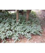 FIVE (7) ROOTED VINCA MAJOR PLANTS (PERIWINKLE)  VARIEGATED. - $5.00