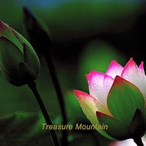 1 seeds / pack, 'Helena Rubinstein' Red Lotus Flower Water Lily Flower Aquatic P - $6.43