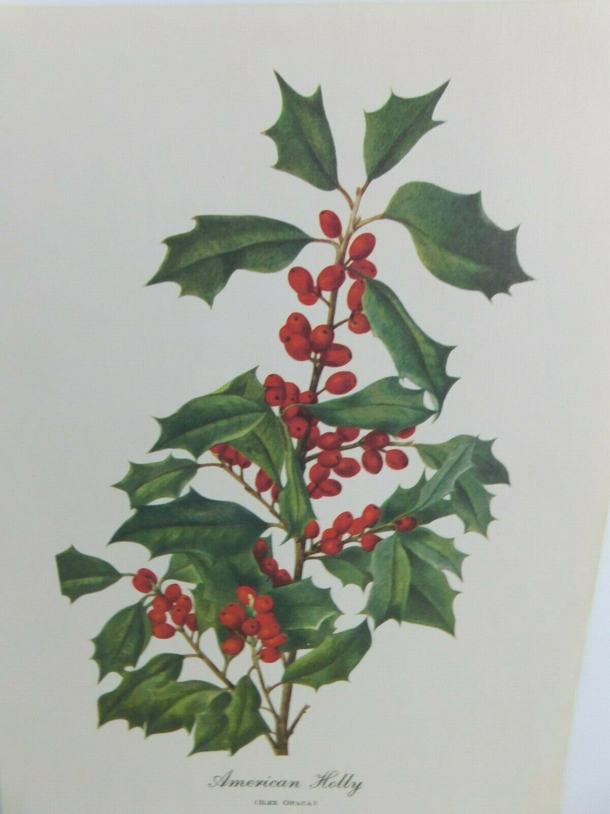 Primary image for VTG American Holly  (Ilex Opaca)  9x12 Frameable Print Nature Flower