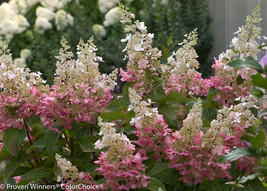 PINKY WINKY hydrangea  shrub PP#16166 image 1