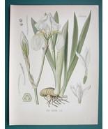 SWEET IRIS Medicinal Flower Iris Pallida - Beautiful COLOR Botanical Print - $28.69
