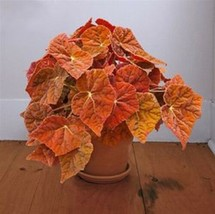 "Rex Begonia - Autumn Embers - Live Plant - 4"" Size Pot - 1 Plant - $37.99"