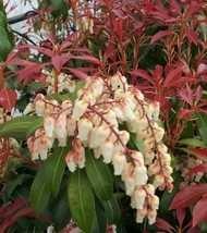 Live Plant - Mountain Fire Pieris Japonica - 2 Gall Pot - Outdoor Living - $130.99