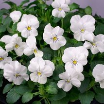 50 Viola White Perfection Flower Seeds Viola Cornuta - $10.88