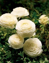 10 Bulbs White Ranunculus (Persian Buttercup) Fully Double Flowers Spear... - $13.49
