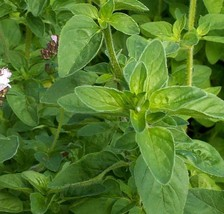 SHIP From US, 1/2 oz 225K Seeds Italian Oregano Herb, DIY Herb Seeds ZJ01 - $45.99