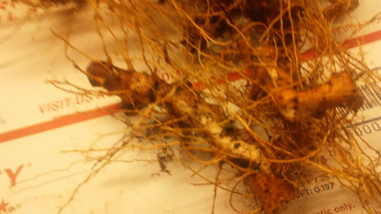 Primary image for 2 ounces Wild Yam Roots