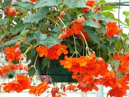 45 Begonia Seeds Illumination Orange Pelleted Seeds flower seeds- Outdoor Living - $56.99
