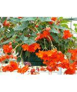 45 Begonia Seeds Illumination Orange Pelleted Seeds flower seeds- Outdoo... - $56.99