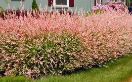 Japanese Dappled Nishiki Willow shrub/tree quart pot image 5