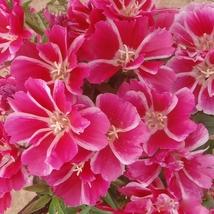 50 Seeds/Bag Satin Flower Seeds Godetia Amoena Don Seed Bonsai Plants  - $3.33