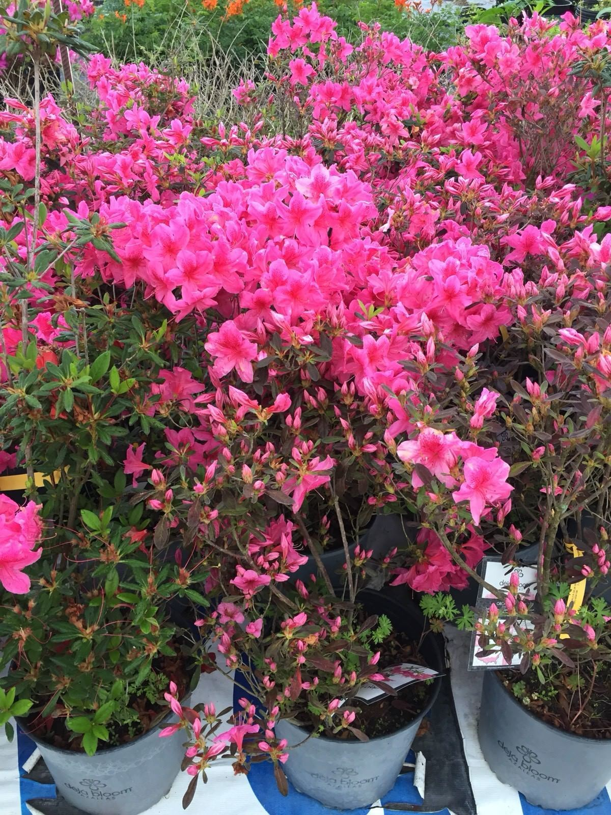 Deja Bloom Azalea Pink Flowers 15 25 Foot And Similar Items