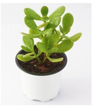 "2 Jade Plant aka Crassula ovuta - Money Plant - Easy to Grow Fit 2"" Pot - $7.69"